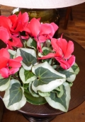 Cyclamen with heart shaped leaves