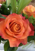 Flowers of the month with beautiful orange roses.