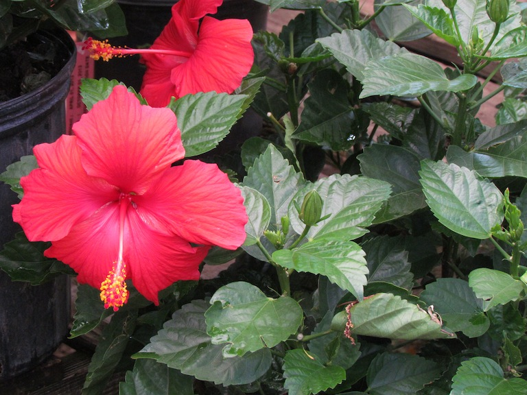 Hibiscus flowering in the greenhouse