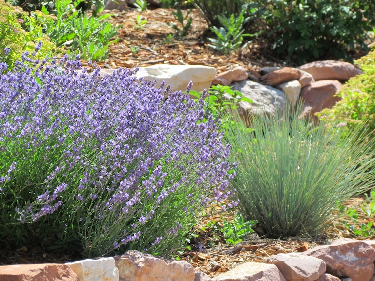 Lavender Plants Boulder CO