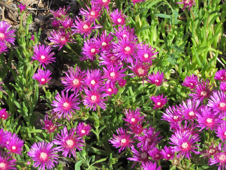 Purple Iceplant
