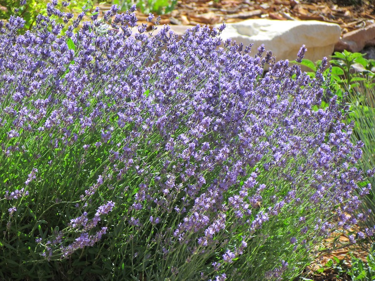 Drought tolerant, fragrant lavender