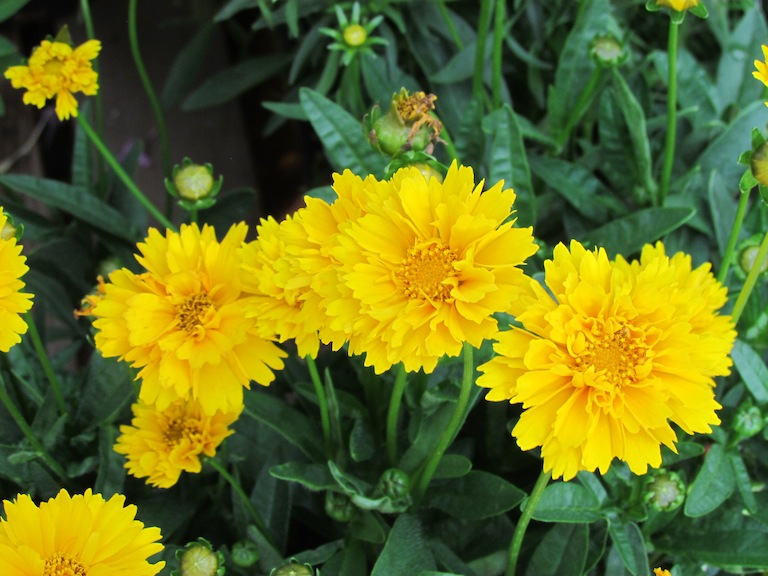 Yellow Coreopsis