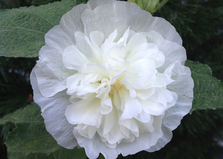 Double White Hollyhock