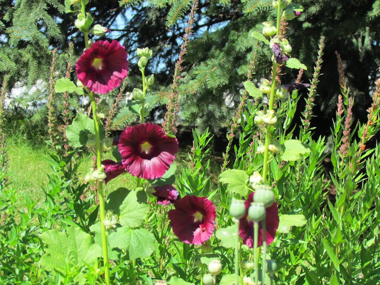 Drought resistant hollyhocks