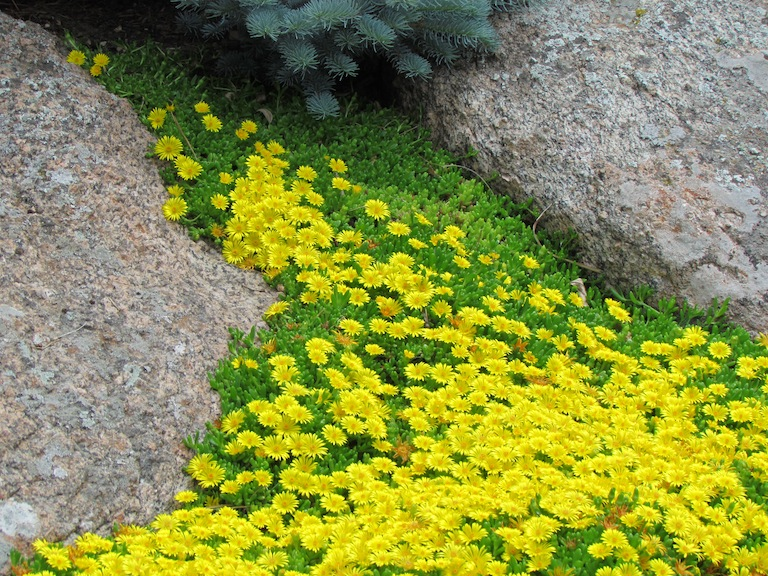 Naturalized Yellow Ice Plant