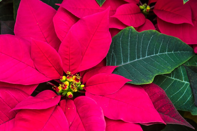Dark Pink Poinsettia