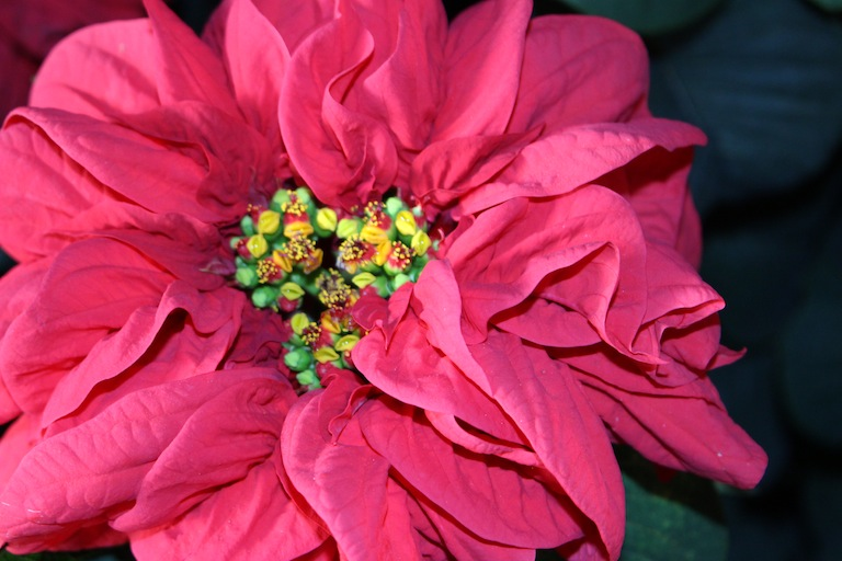 Beautiful Winter Rose Poinsettia Variety