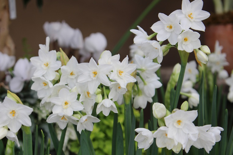 Paperwhites are the easiest bulbs to force.