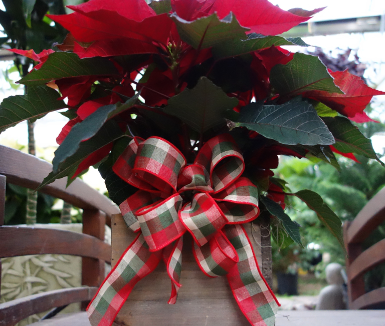 Boxed Poinsettia