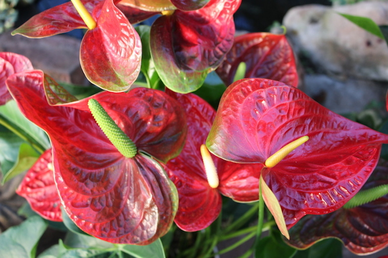 anthurium Plant for Valentine's Day