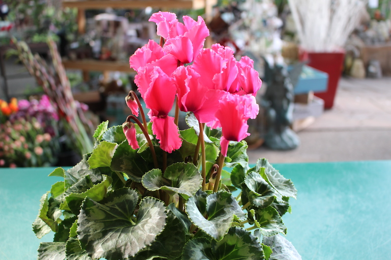 Cyclamen With Heart Shaped Leaves For Valentines Day Anthurium