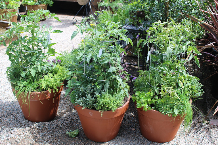 Container Garden with Tomato