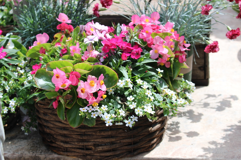 Basket with mixed annuals and pink wax begonias