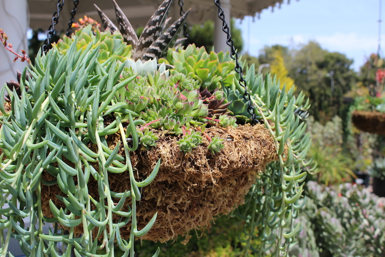 Mixed Succulents in a Moss Hanging Basket