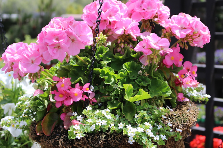 Moss hanging basket for sun with pink geraniums