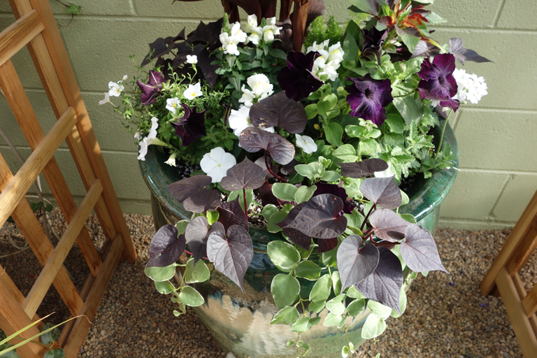 Sweet Potato Vine and Deep Purple Petunias