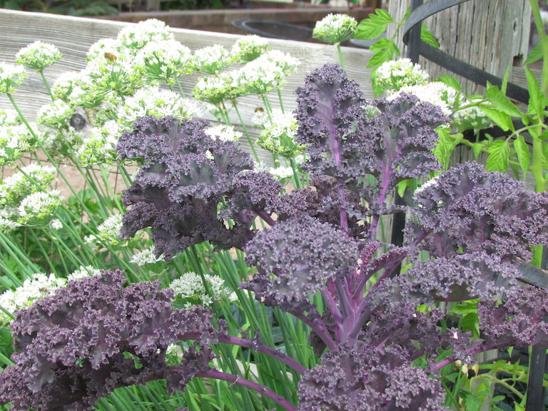 Purple Kale with Garlic Chives