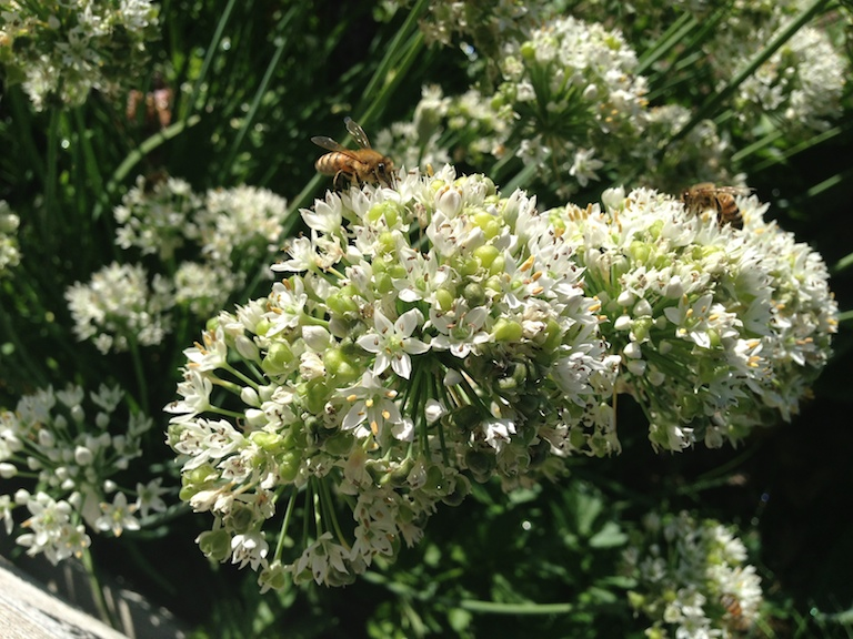Garlic chive flowers covered with bees