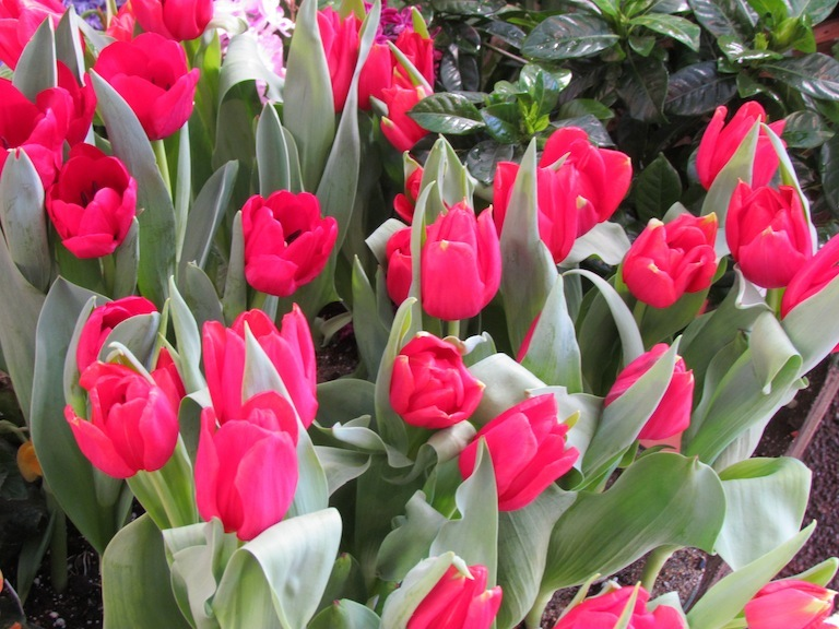 Holland Red Tulips