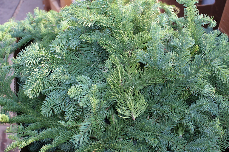 Noble Fir Christmas Boughs by the Pound