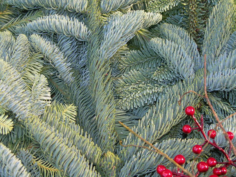 Noble Fir Boughs