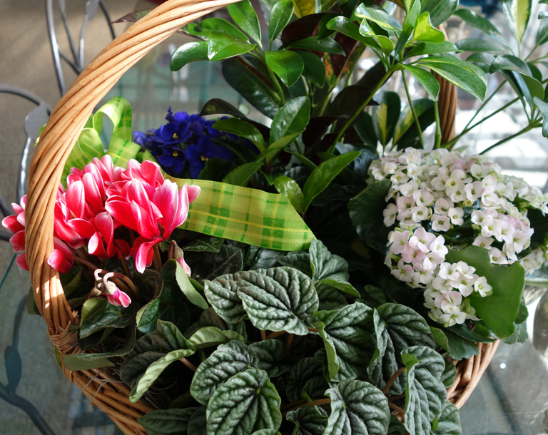 Blooming Basket with Cyclamen, Kalonchoe and Peperomia