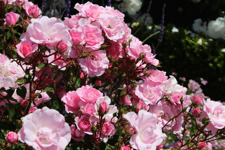 Learn how to grow beautiful roses.