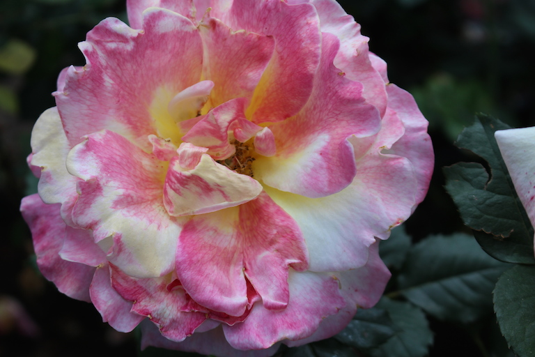 Fragrant Bella'roma with warm yellow petals tinged with pink