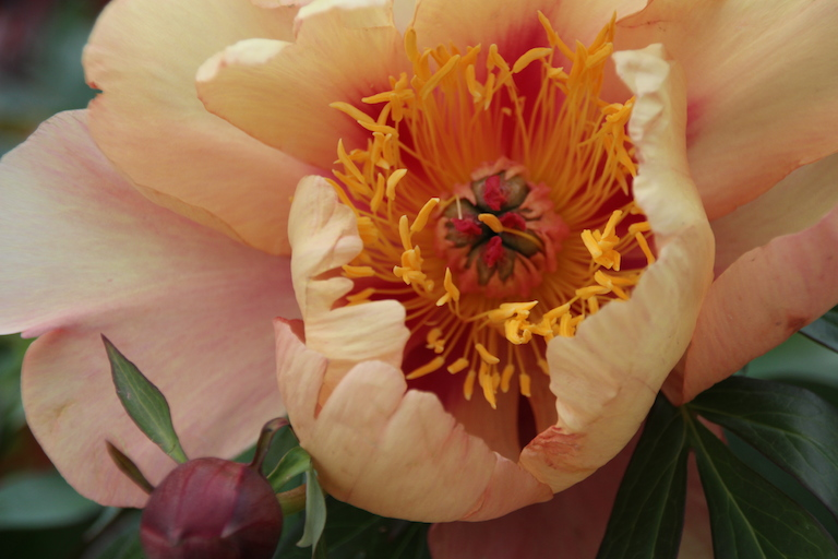 Large, double flowered, disease resistant Misaka, Itoh peony