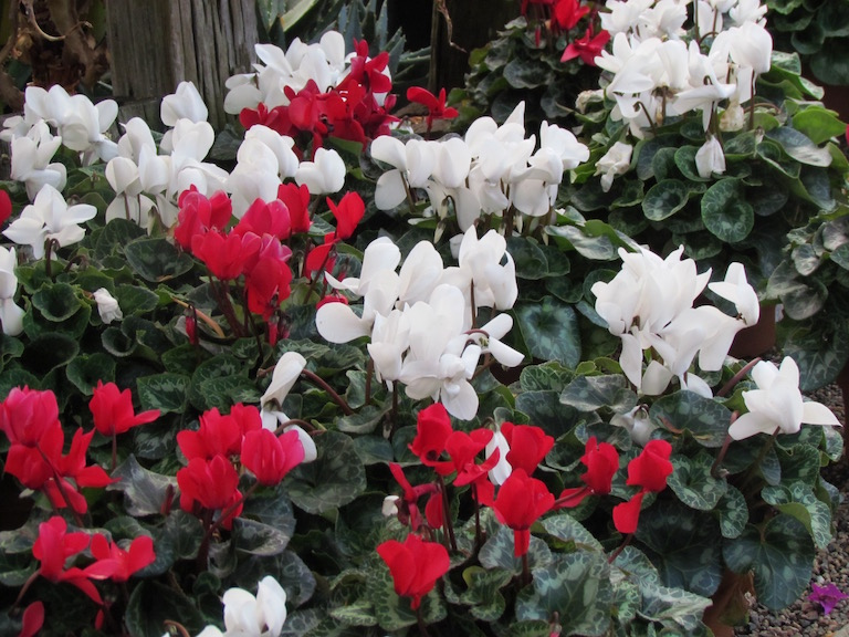 Delicate cyclamen blossoms resemble shooting stars