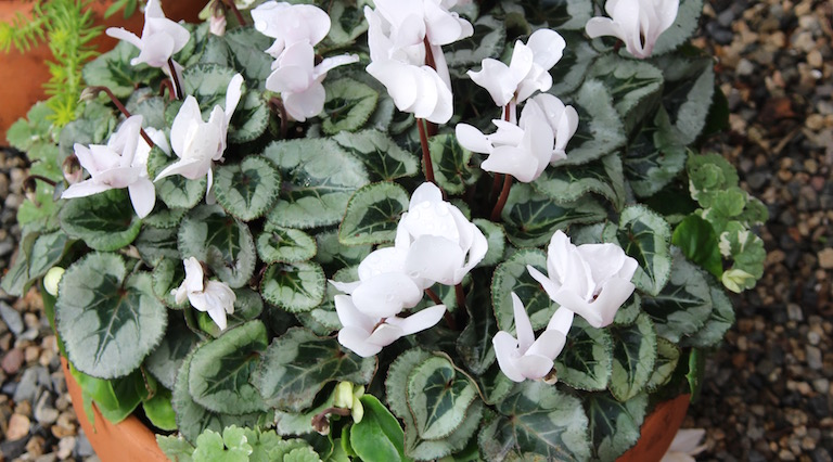 Cyclamen in pots do well in a shady spot outside in the summer