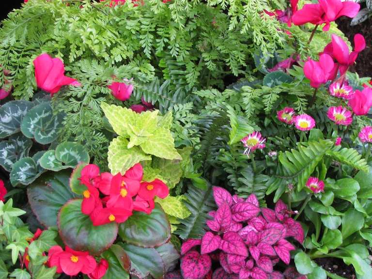 French garden with pink cyclamen, pink begonias and ferns