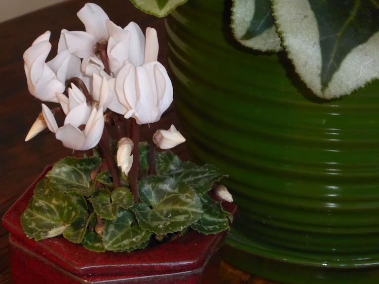 Fragrant white miniature cyclamen