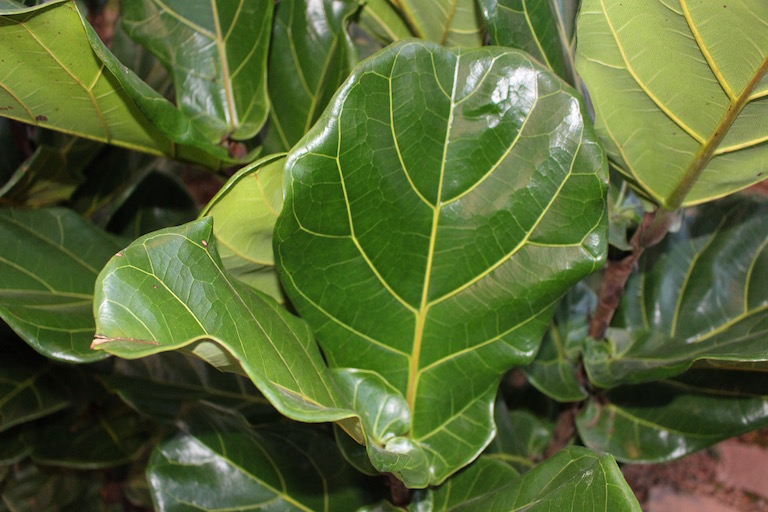Fiddle leaf fig, Ficus lyrata, with large dramatic leaves