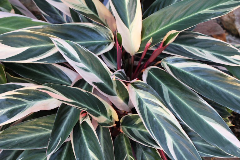 Stromanthe is a  Calathea  with uniquely patterned leaves
