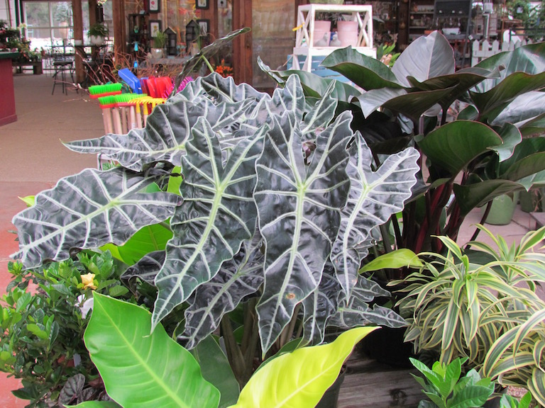 Alocasia amazonica with stunning arrowhead shaped leaves