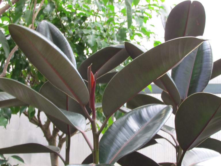 Easy to grow rubber plant, Ficus elastic decora