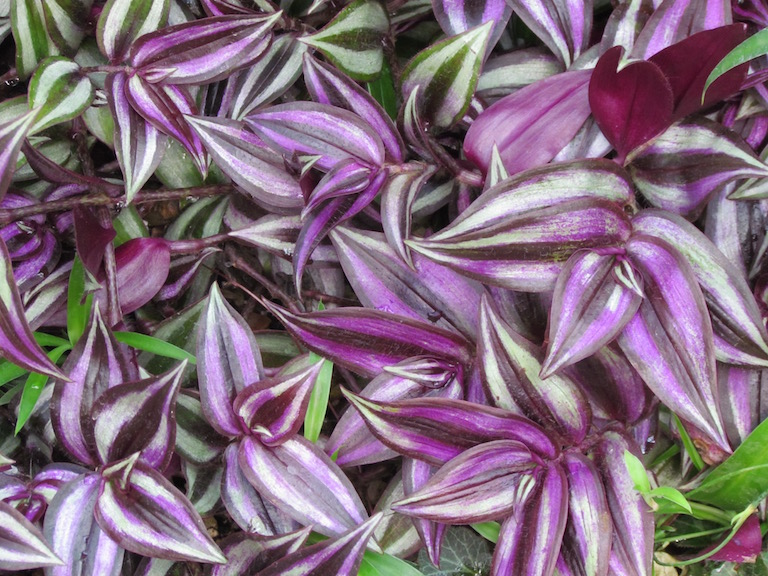 Beautiful variegated purple Tradescantia, wandering jew