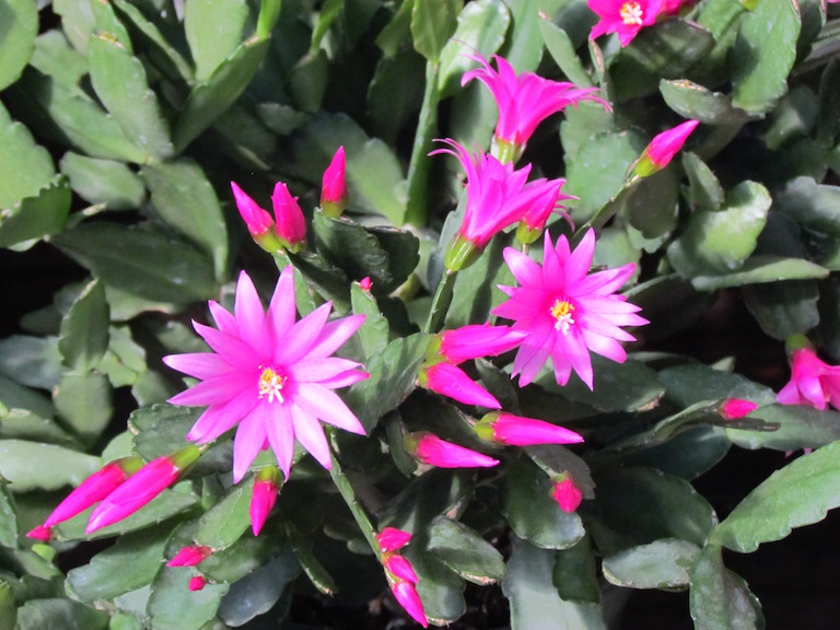 Easter cactus with star shaped flowers