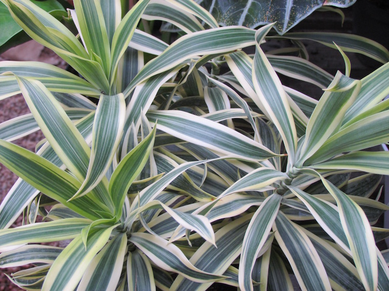Dracaenas will do well in low to moderate light