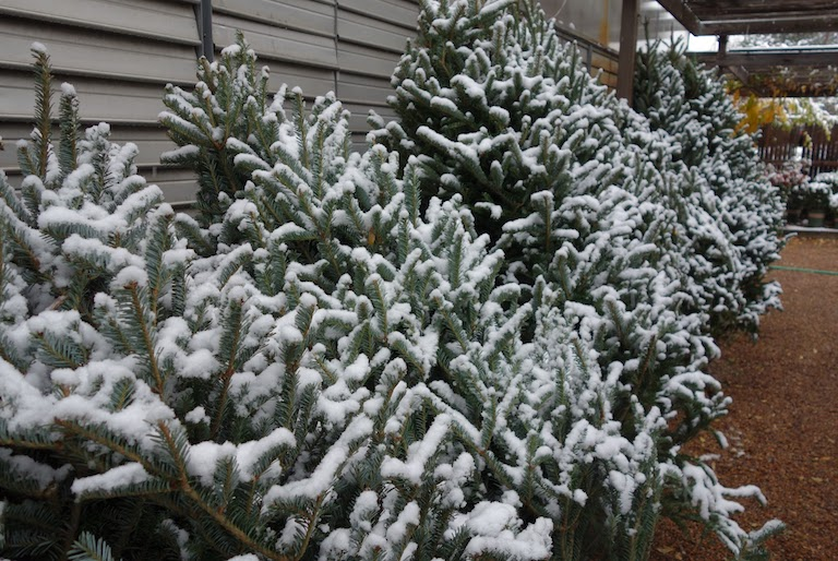 Snow covered Christmas Trees in Boulder at Sturtz and Copeland