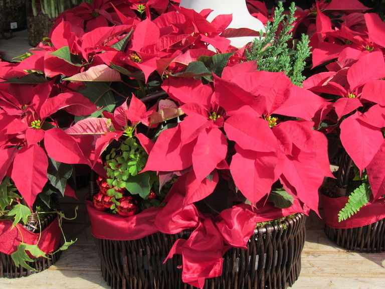 Poinsettia in a basket with maidenhair fern