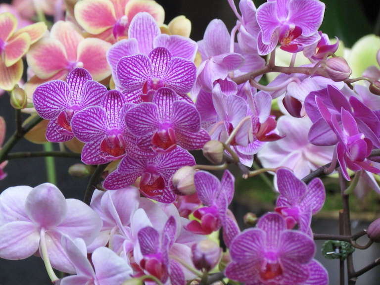 Phalaenopsis Orchids, perfect for home growing in Boulder