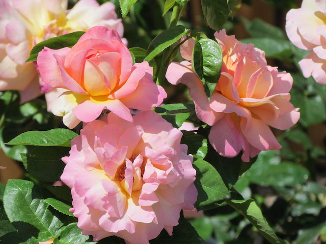 Fragrant Perfume Delight Hybrid Tea Rose