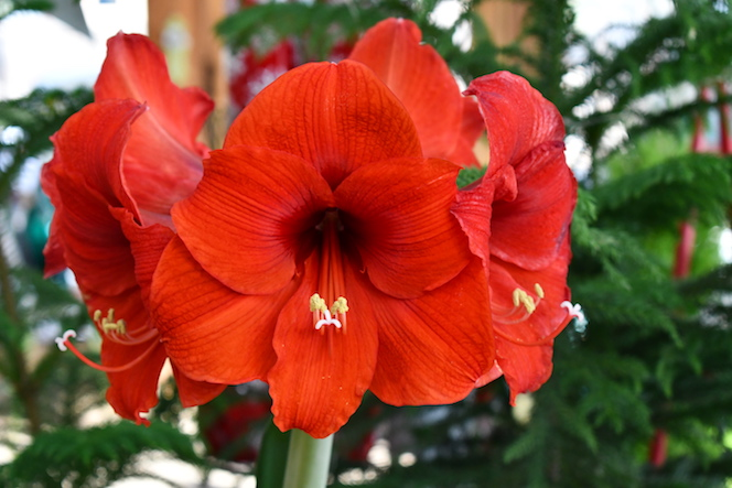 Red amaryllis at Sturtz and Copeland in Boulder, CO