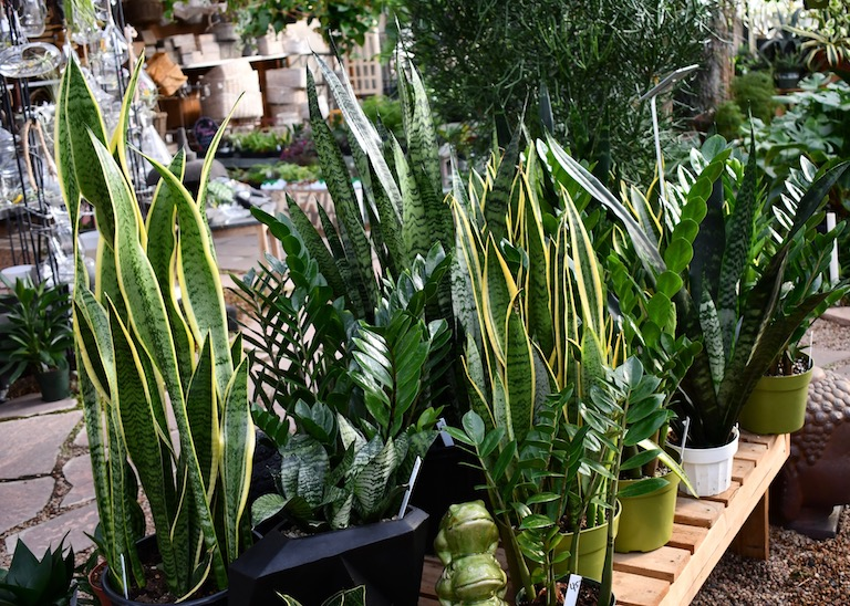 Sansevieria filters out formaldehyde in the air.