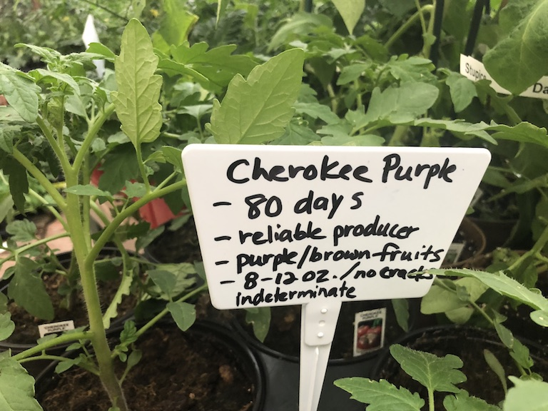 Cherokee Purple Tomato Plants are flavorful heirlooms
