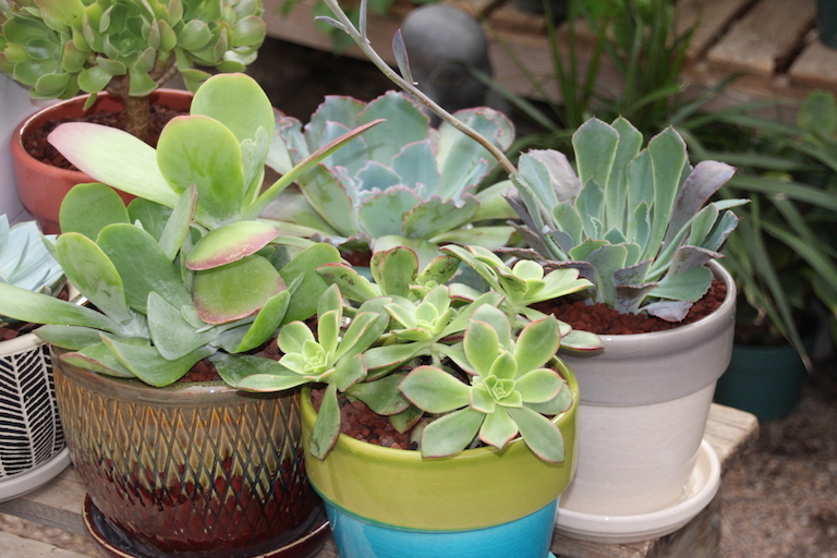 Succulents in bright pots for the indoor garden