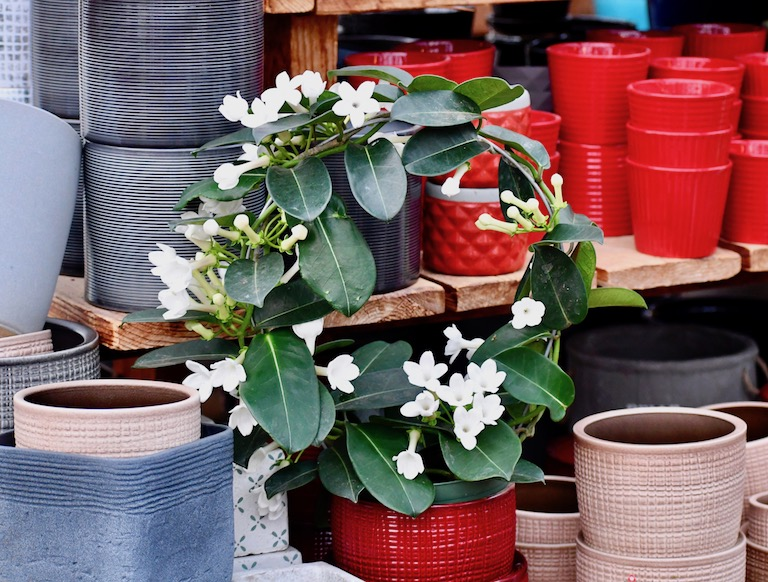 Fragrant Stephanotis in a Red Pot
